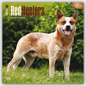 Red Heelers 2016 | Dodax.at